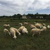 双莲散养山羊