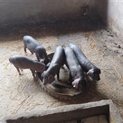 圈养小猪仔,小黑猪