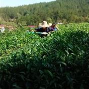 高山茶园绿茶