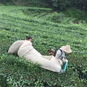 机器采摘茶叶